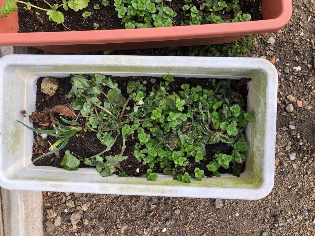 植え替えた大根。玉ねぎと同じプランターの中に。