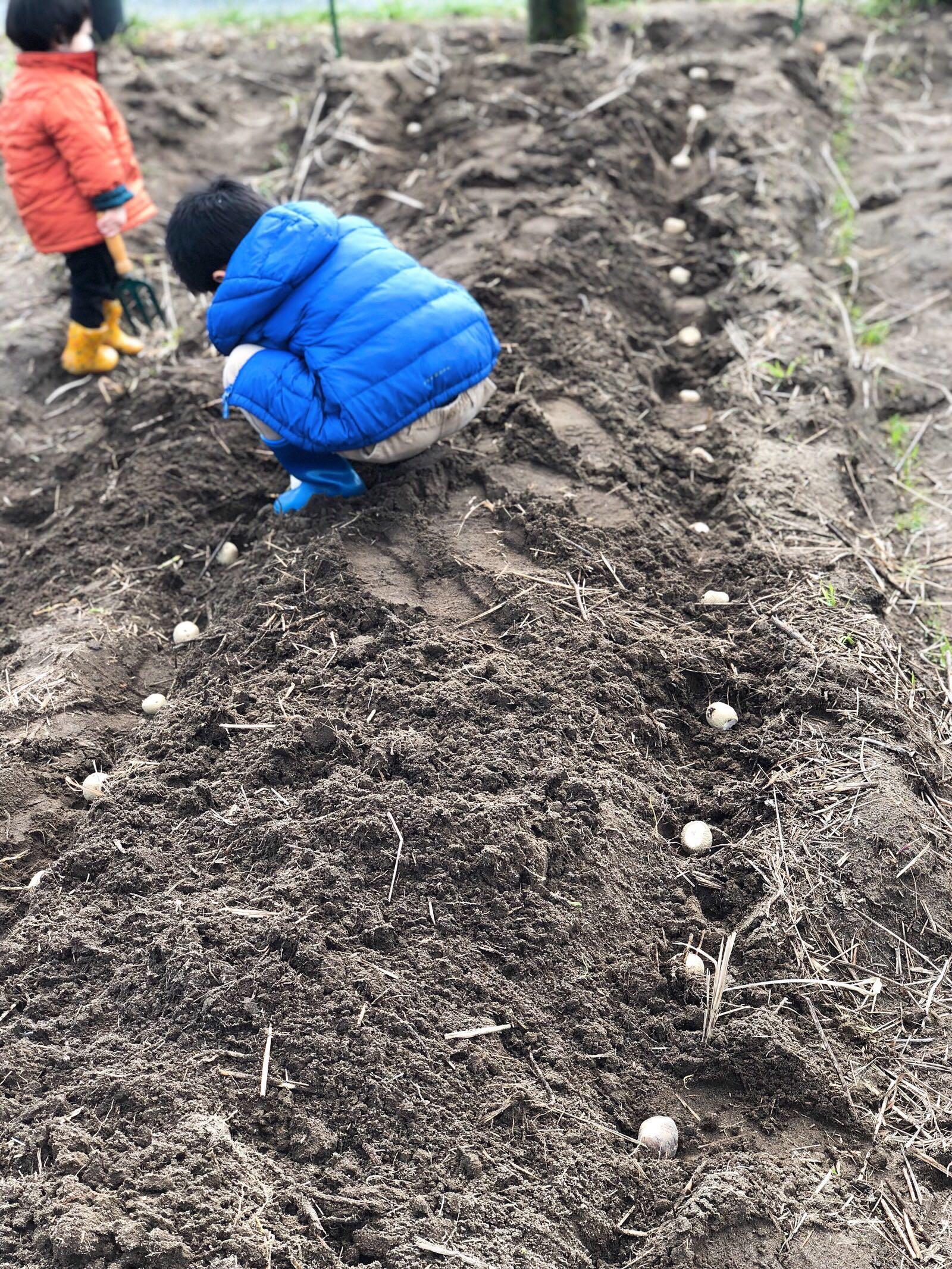 植え付け途中のジャガイモ