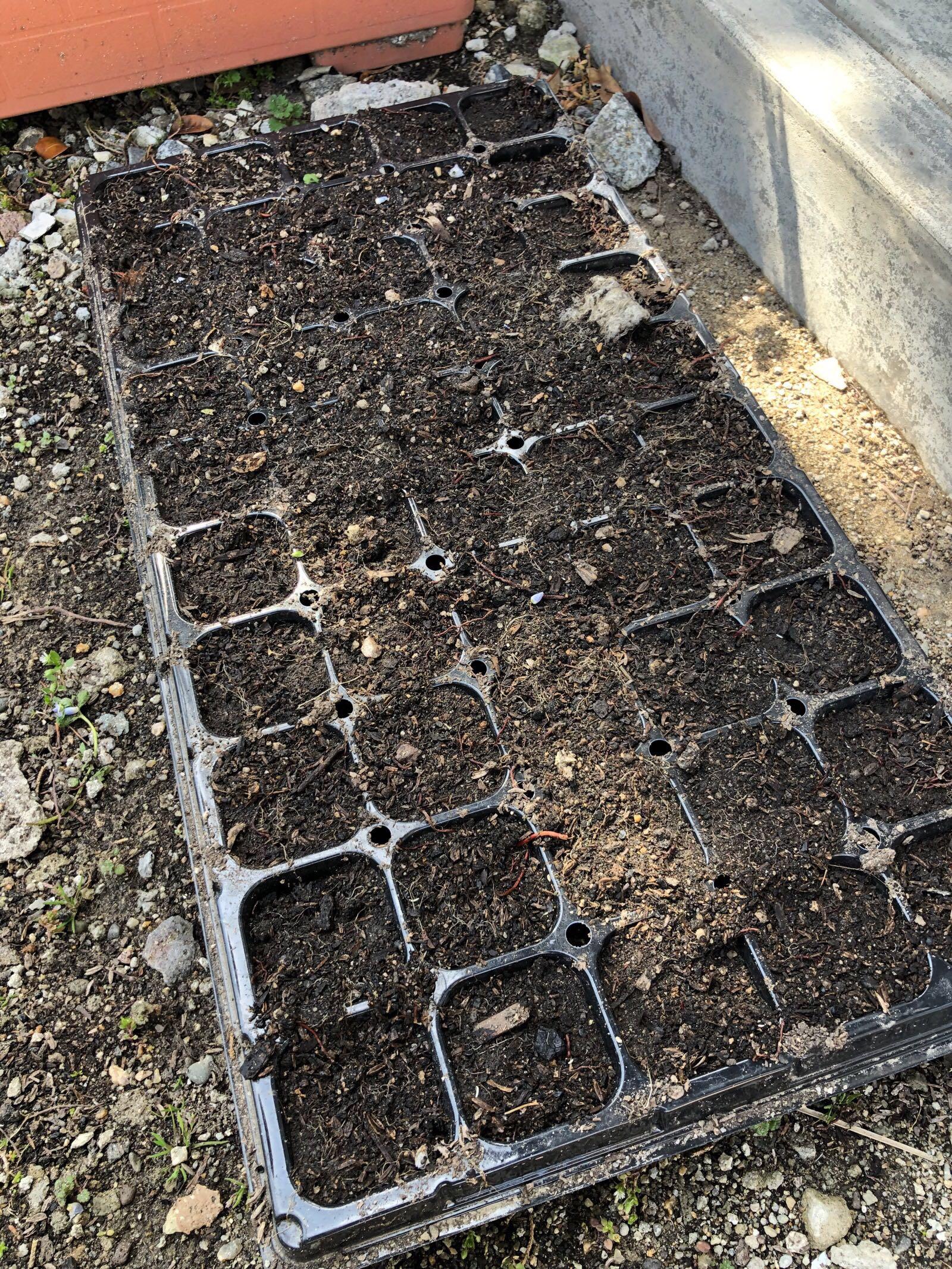 ネギの種まきから2週間たった種まきトレイ