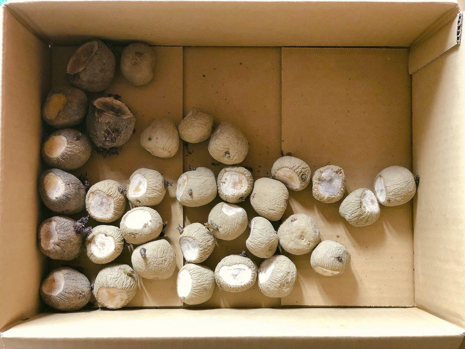 日に当てたジャガイモの種イモ