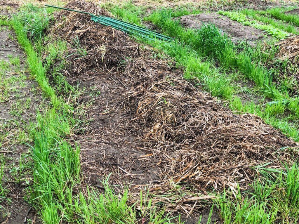 種まき後の畝。草で覆いました