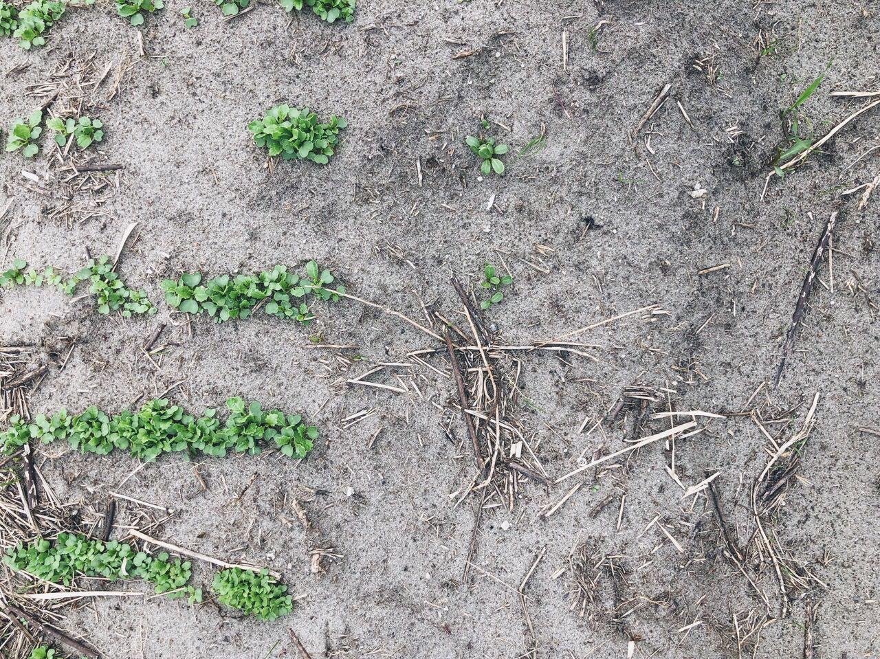 小ガブとゴボウの芽