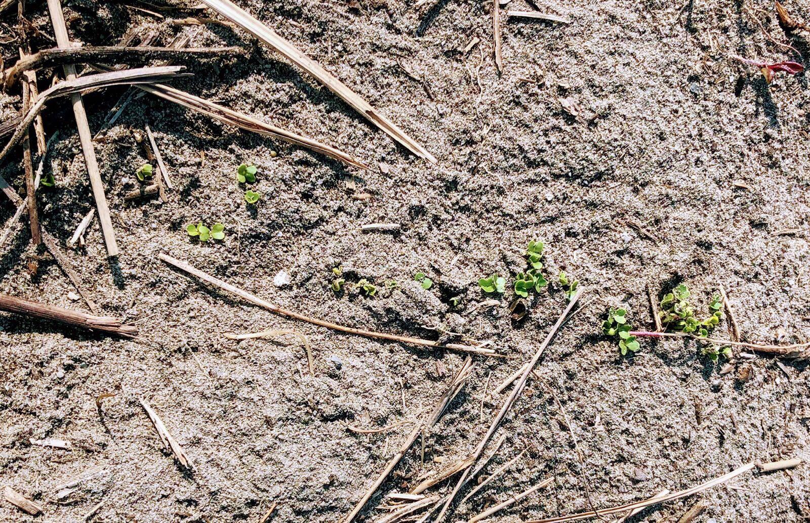 小カブの芽