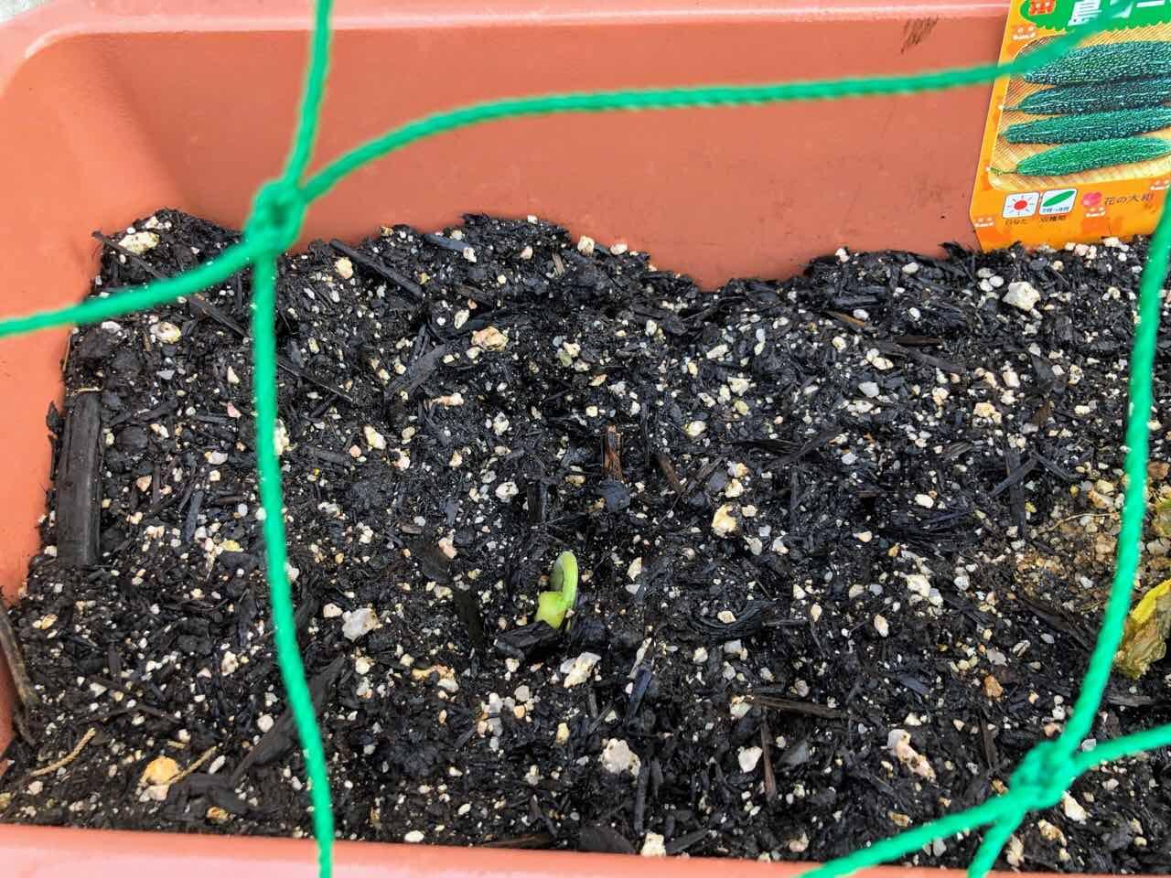 モロッコ豆の芽