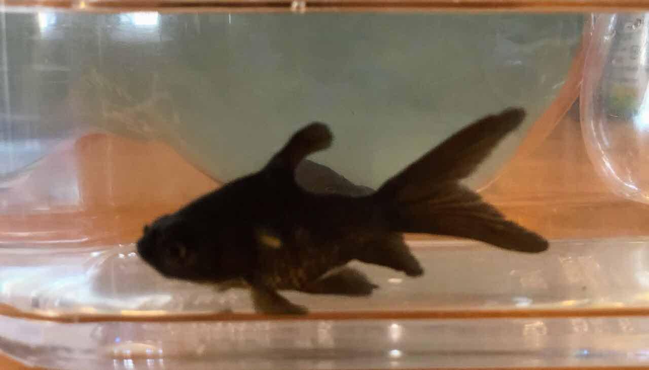 エラに寄生虫がついている疑いのある金魚