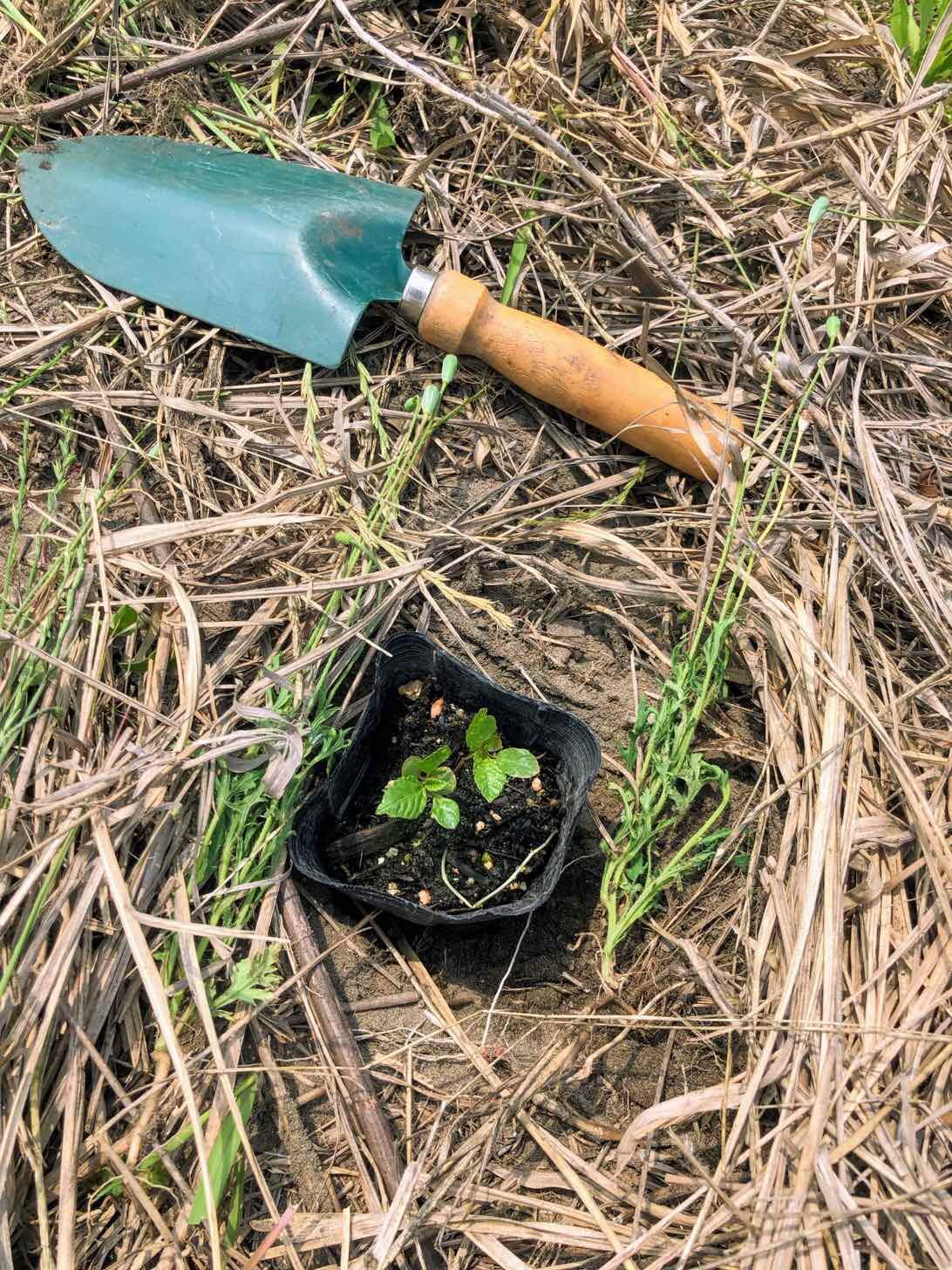 モロヘイヤの苗を植える