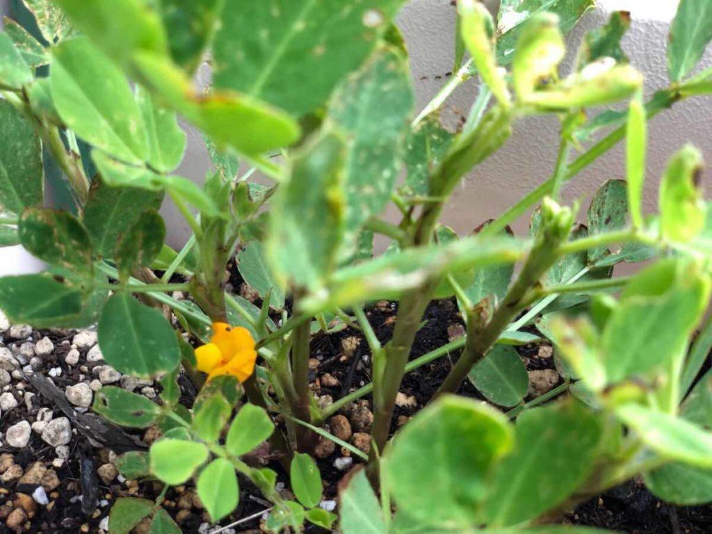 ラッカセイの花