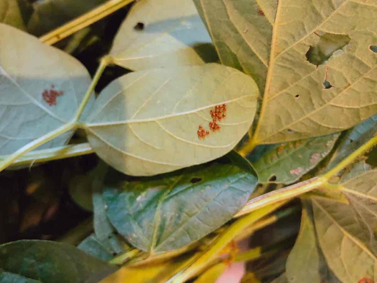 葉裏についた虫の卵