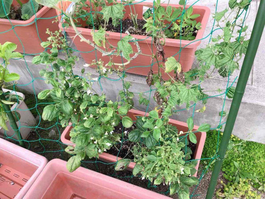 ゴーヤプランターのモロッコ豆
