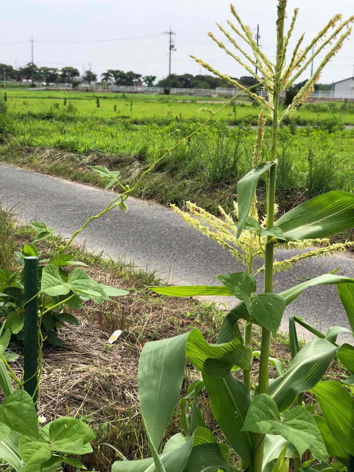モロッコ豆に絡まれるトウモロコシ