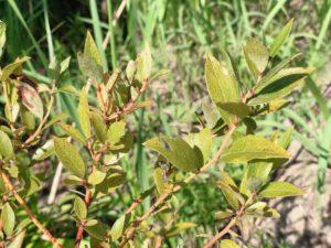 ブルーベリーの葉。赤い斑点がある