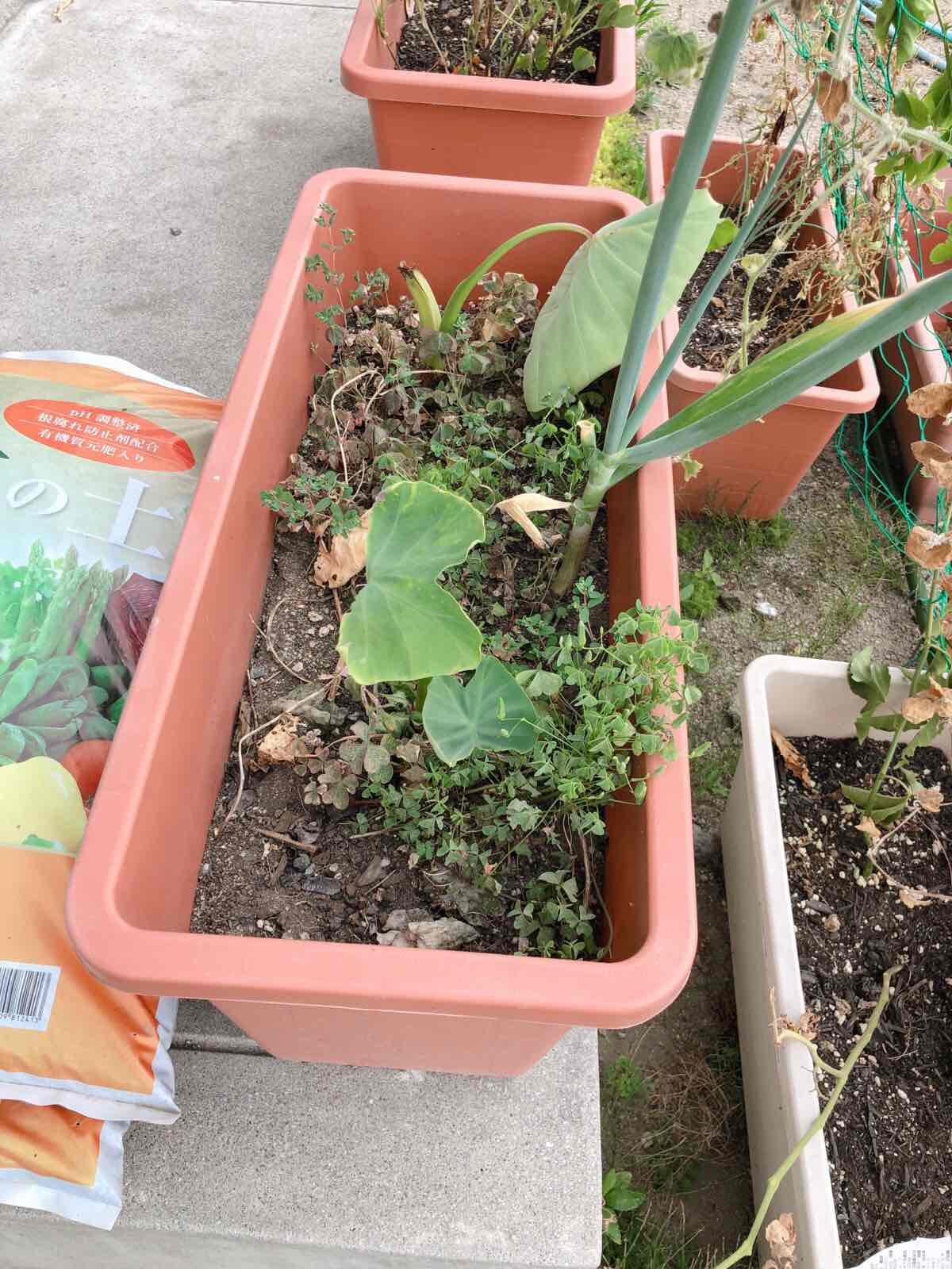復活したサトイモの葉