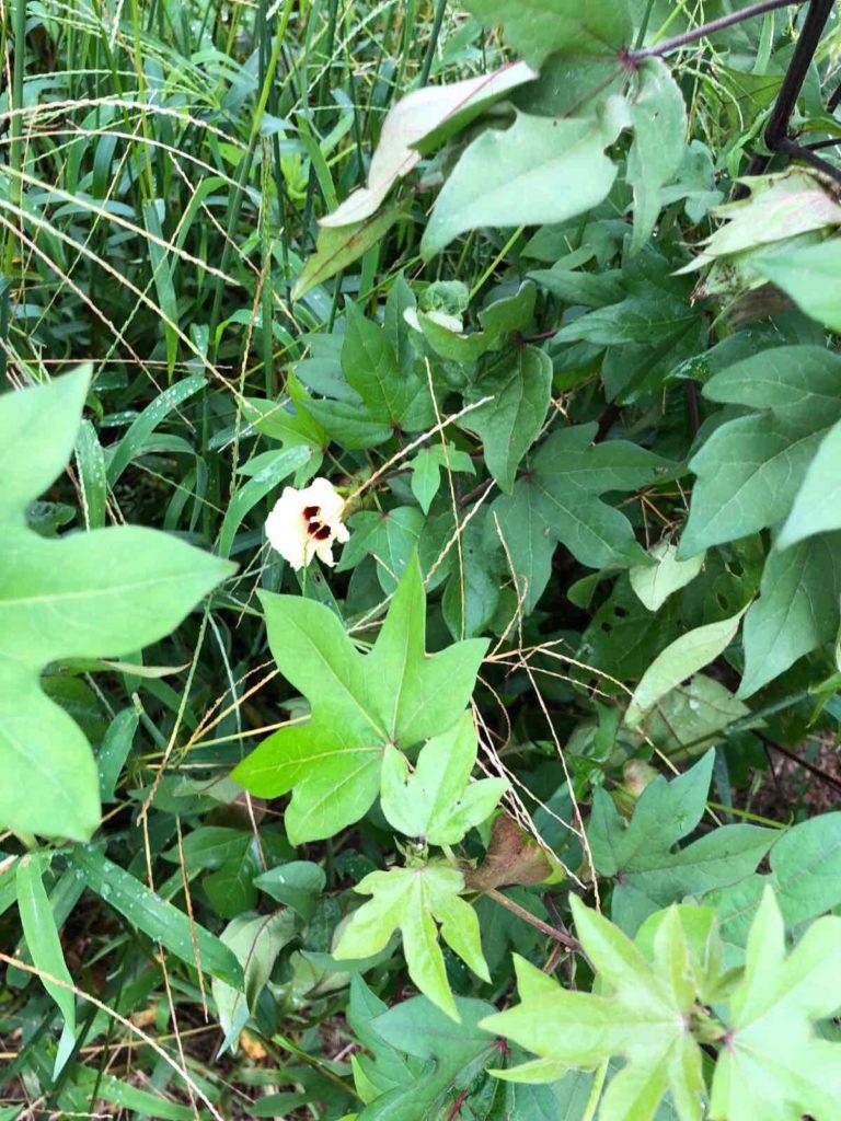 草むらの中の綿の花