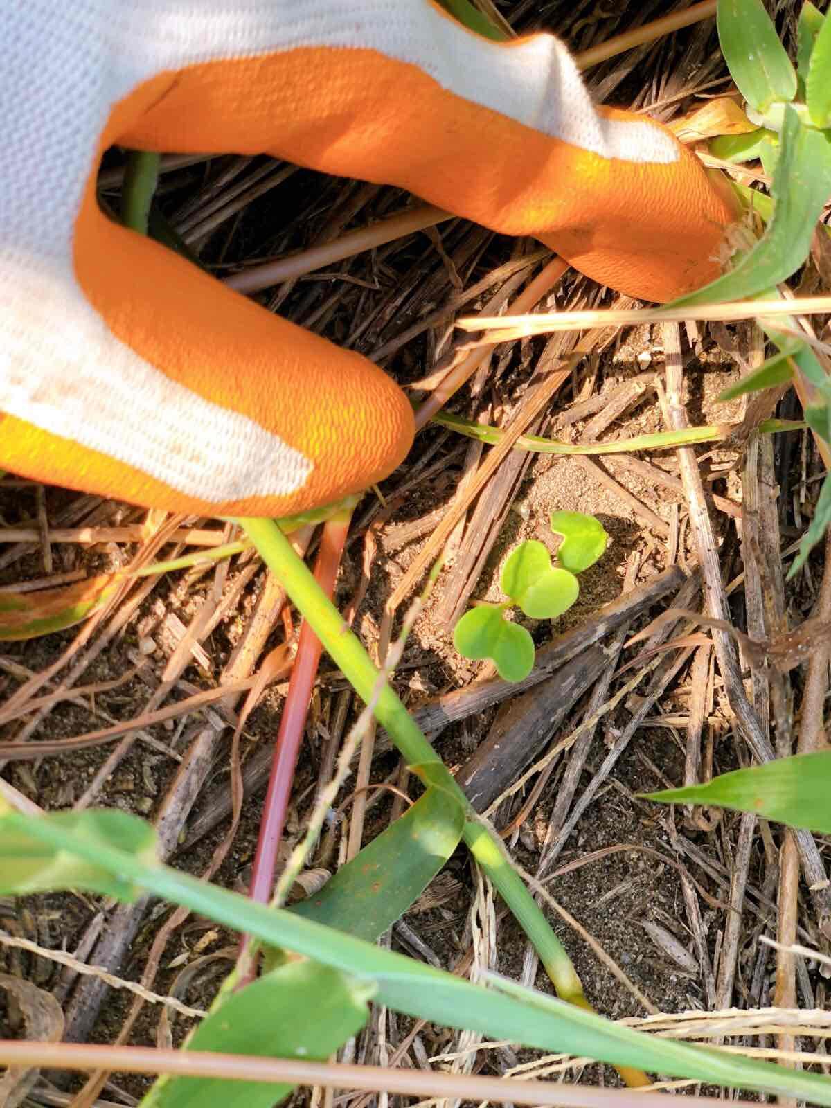 ハマダイコンの芽