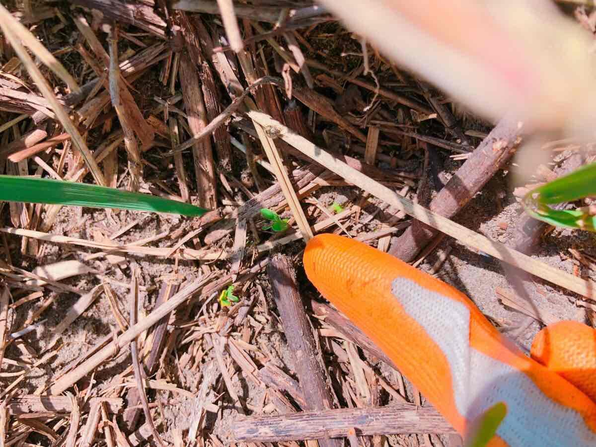 ダイコンの芽