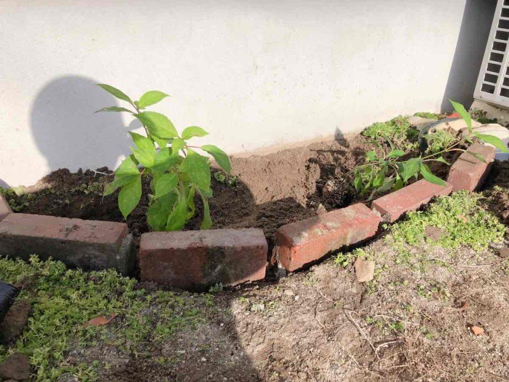 アジサイを植えた