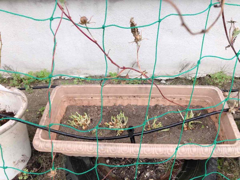 豆苗をプランターに植えた