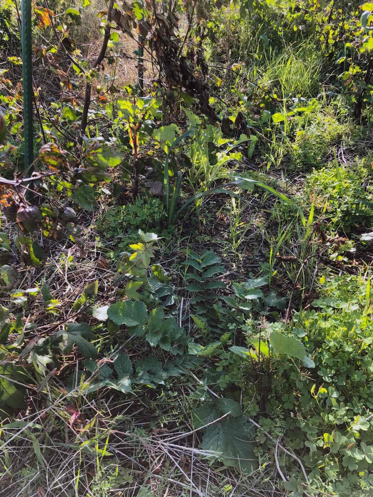 葉を広げたハマダイコン