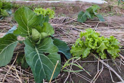 私の野菜は、虫食いがあったり生育が揃わなかったりする