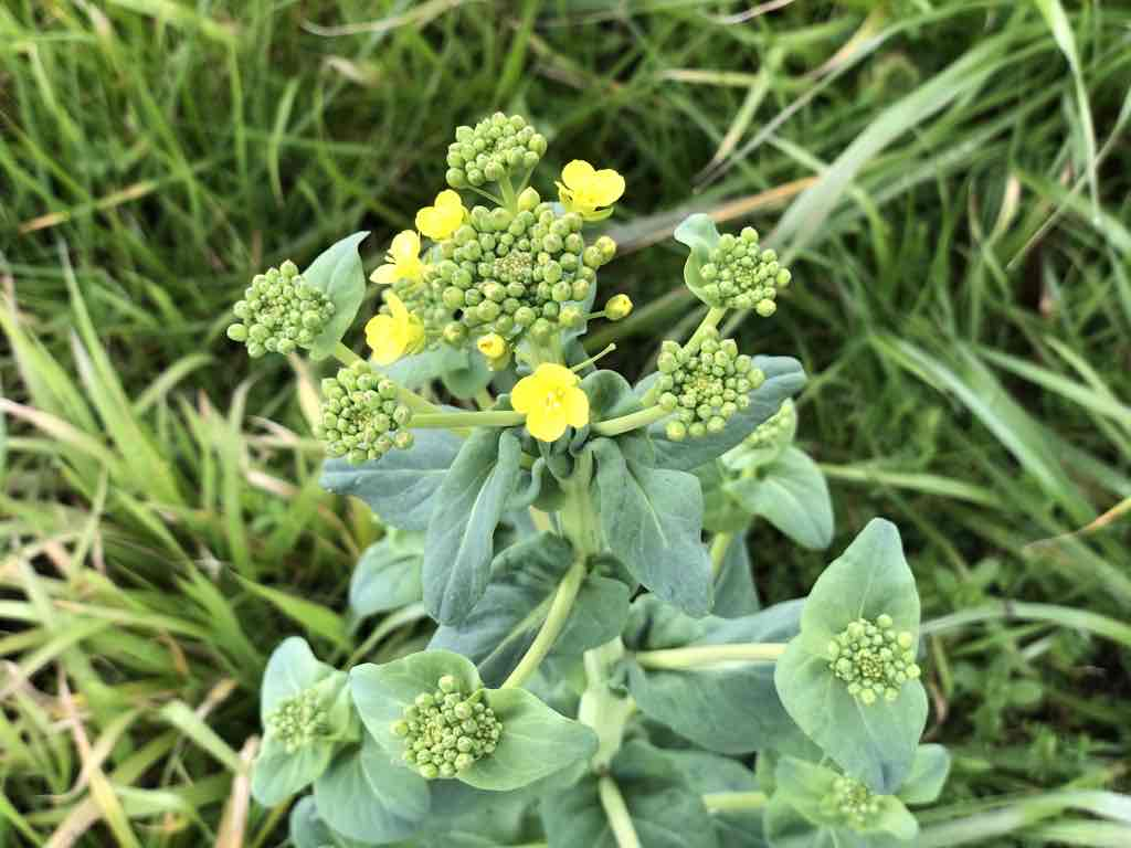 タアサイの花